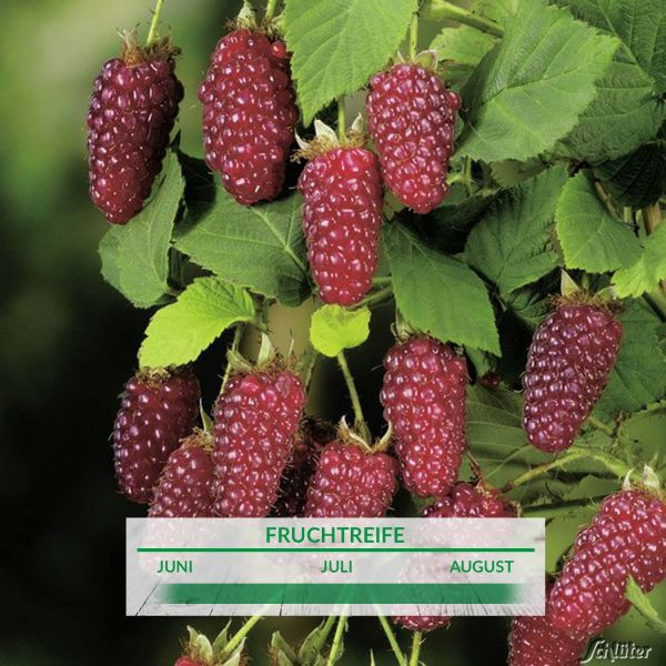 Him-Brombeere 'Buckingham Tayberry®' Rubus 'Buckingham Tayberry ®' Bild