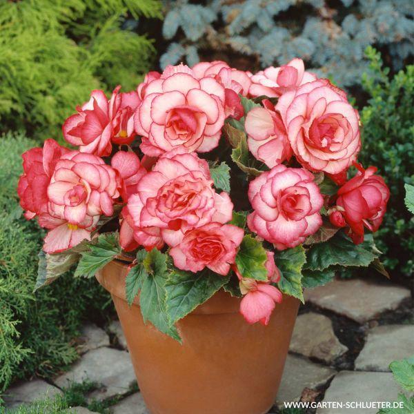 Begonie 'Picotee Weiß-Rot' - 3 Stück Begonia Bild