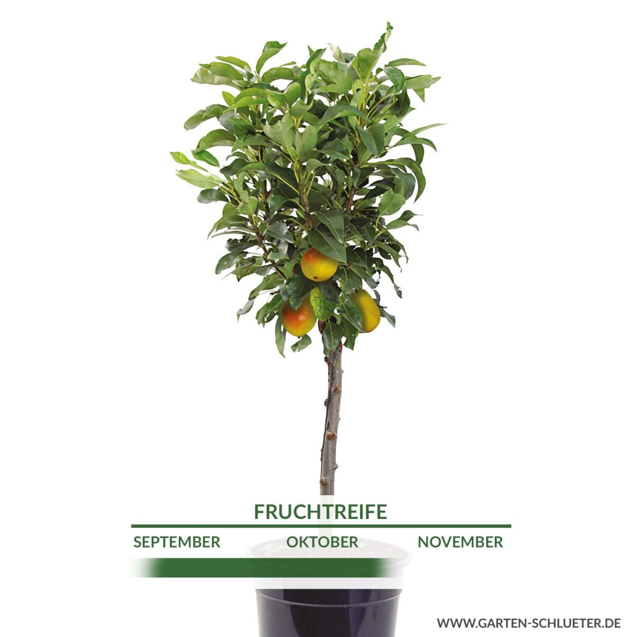 Obst-Zwerg® Birne 'Little Queen'