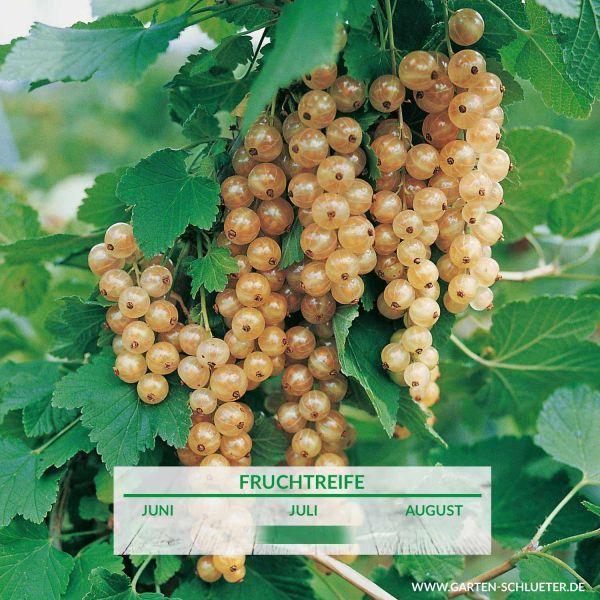 Weiße Johannisbeere 'Weiße Versailler®' Ribes rubrum sativa 'Weiße Versailler®' Bild