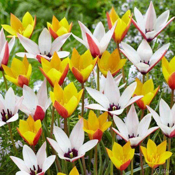 Wildtulpen-Mischung 'Belles Tulipes' - 25 Sück Tulipa 'Belles Tulipes' Bild