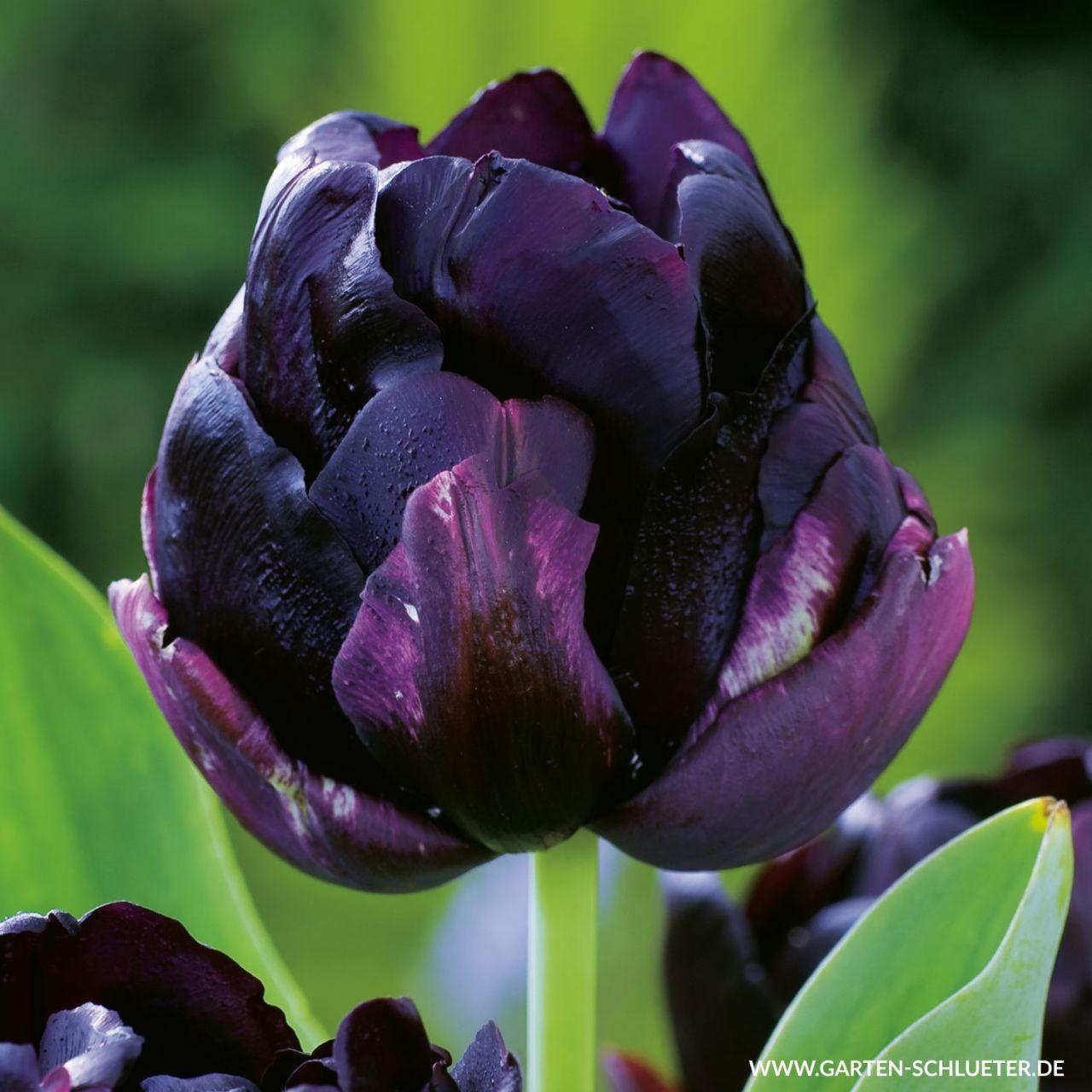 Garten-Schlueter.de: Gefüllte späte Tulpe Black Hero - 5 Stück