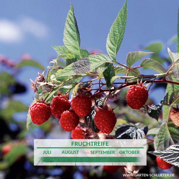 Himbeere 'Willamette' Rubus idaeus 'Willamette' Bild