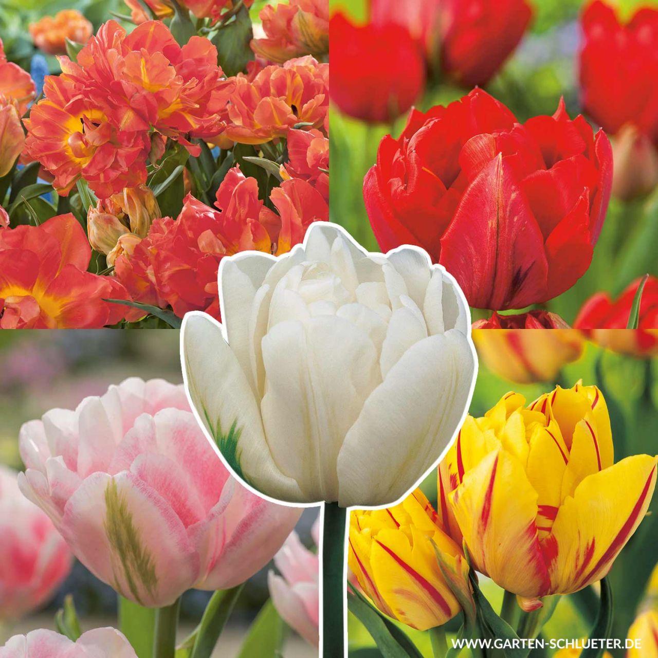 Gefüllte frühe Tulpe 'Sortiment in 5 Sorten' - 35 Stück