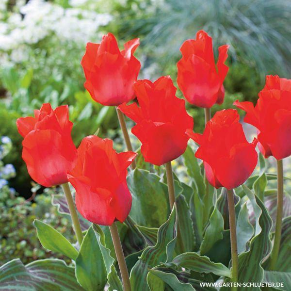 Botanische Tulpe 'Rotkäppchen' - 10 Stück Tulipa greigii 'Red Riding Hood' Bild