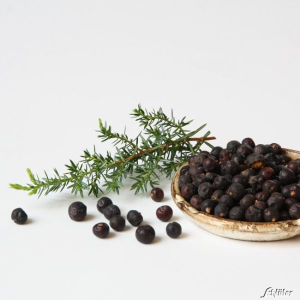 Gin-Wacholder - 1 Pflanze Juniperus communis Bild