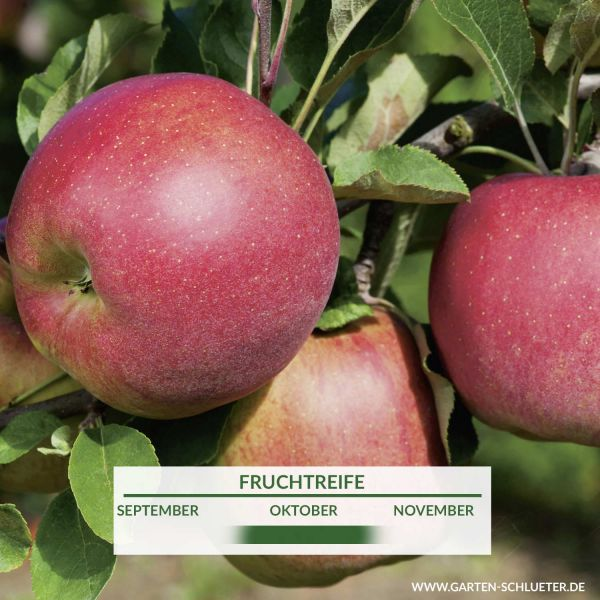 Apfel 'Melrose' Malus domestica 'Melrose' Bild
