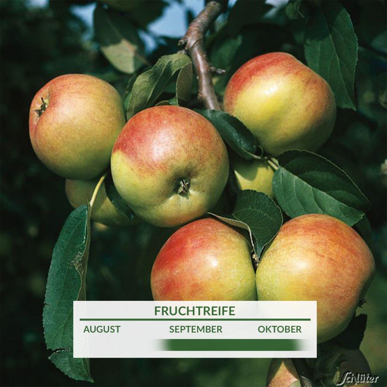Apfel `Gravensteiner`
