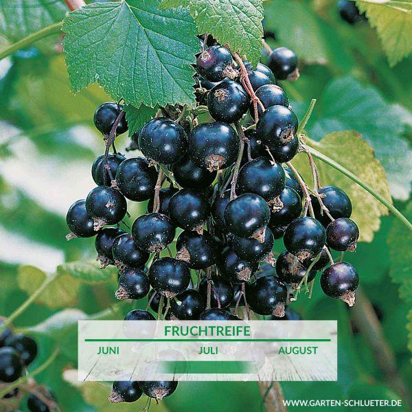 Schwarze Johannisbeere 'Leandra' - Halbstamm Ribes nigrum 'Leandra' Bild