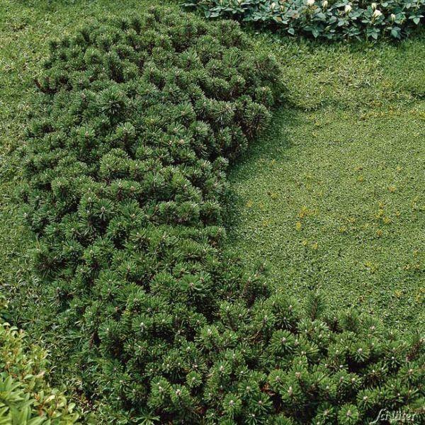 Zwerg-Heckenkiefer 'Grüne Welle' Pinus uncinata 'Grüne Welle' Bild