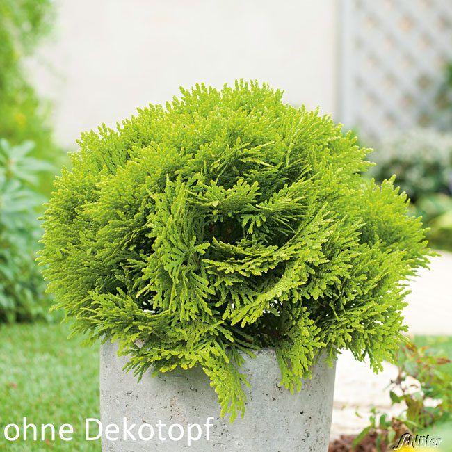 Garten-Schlueter.de: Goldgelber Kugel - Lebensbaum Mirjam
