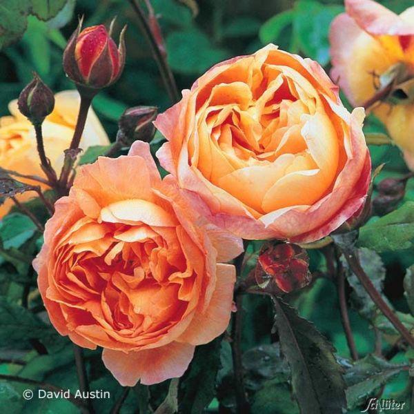 David Austin-Rose 'Lady Emma Hamilton®' - AGM-Rose Rosa 'Lady Emma Hamilton®' Bild