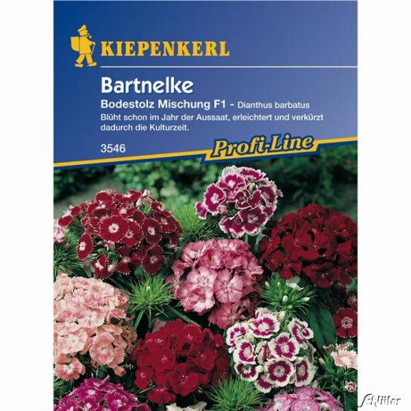 Bartnelke 'Bodestolz' Dianthus barbatus Bild