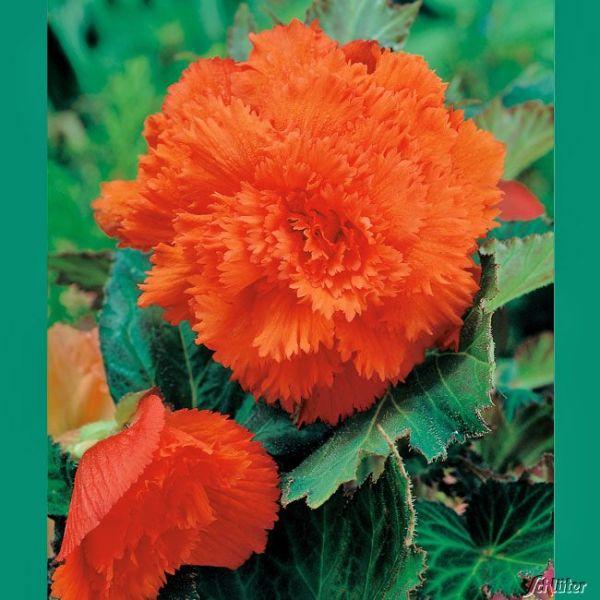 Gefranste-Begonie 'Fimbriata Orange' - 3 Stück Begonia Fimbriata Bild
