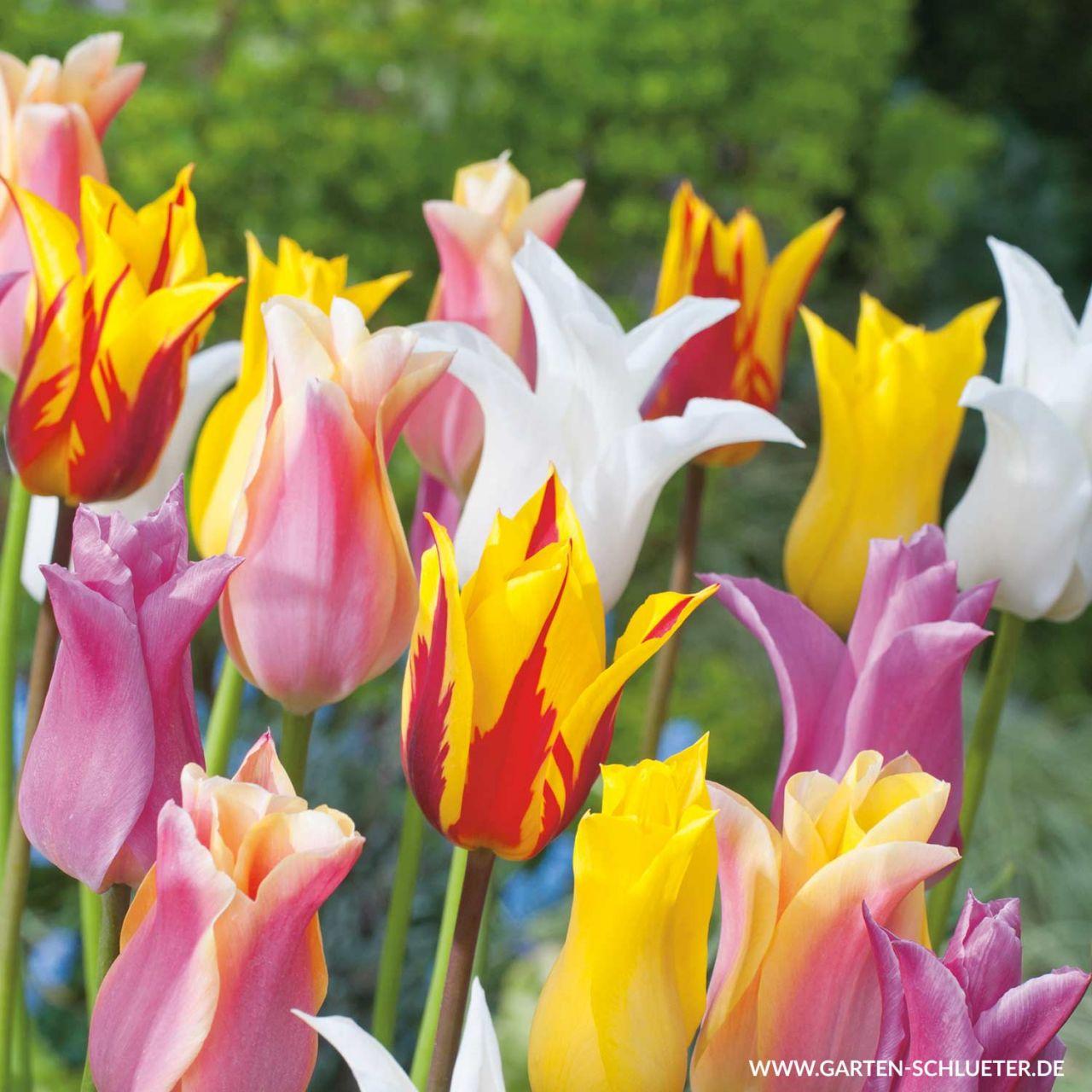 Lilienblütige Tulpen 'Mischung' - 7 Stück